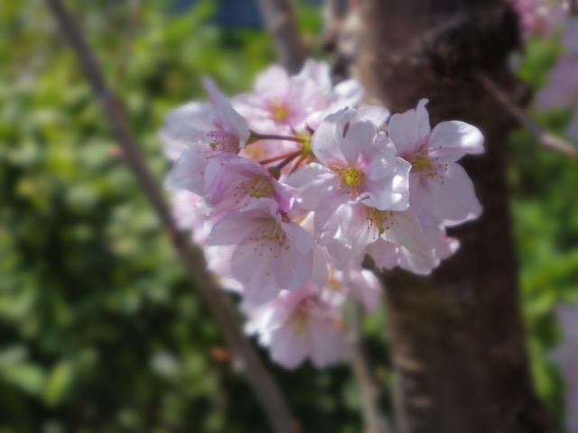 PENTAX Q-S1で撮影BCモード桜の花びら